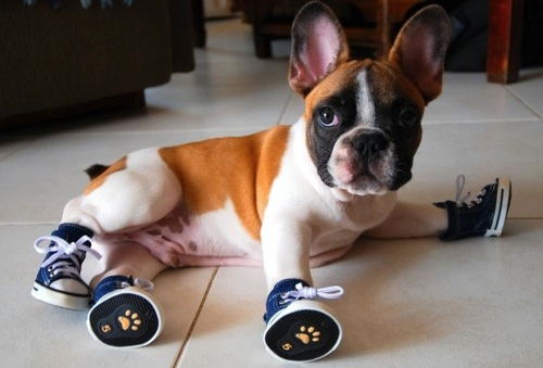 All About Dog Shoes