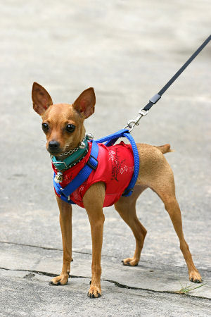 Small dog harness how to pick the right type for your pet for What type of dog is this